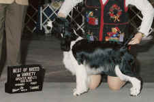 English Springer Spaniel image: Ch Suncoast Shot In The Dark 'Cindi'