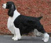 English Springer Spaniel image: BISS Ch Suncoast Covert Operator 'Cody'