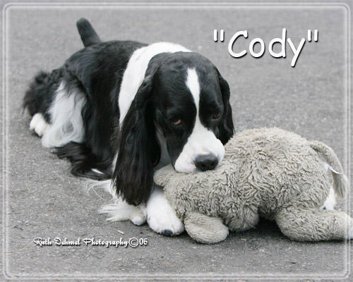 English Springer Spaniel photo of BISS Ch Suncoast Covert Operator 'Cody'