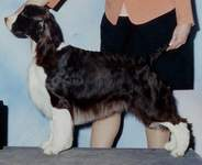 English Springer Spaniel image: Ch Suncoast Tropical Breeze 'Sophie'