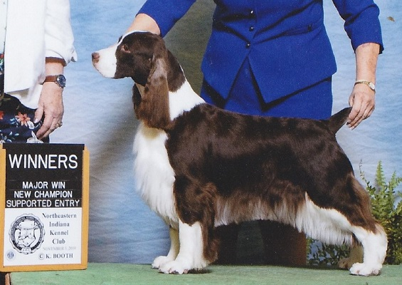 English Springer Spaniel: Ch Suncoast Days Of Future Past 'Aimee'- New Champion!