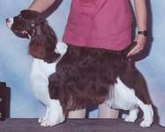 English Springer Spaniel image: Ch Suncoast Tropical Storm 'Breezy'