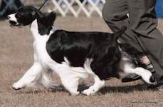 English Springer Spaniel image: Ch Suncoast Shot In The Dark