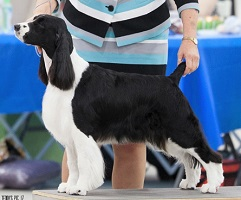 Luci - English Springer Spaniel National Specialty - Purina Farms