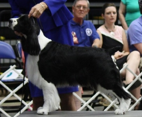 English Springer Spaniel: Ch Brightwater Gilchrist Time Flie
