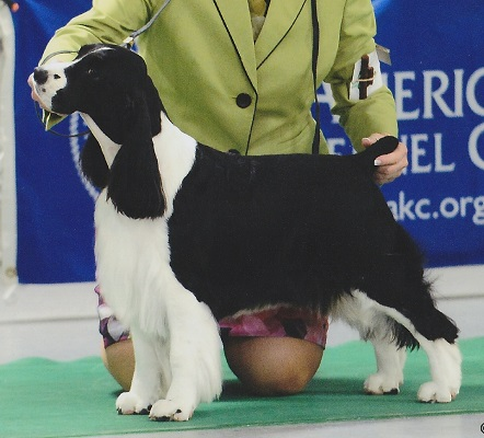English Springer Spaniel: Ch Brightwater Gilchrist Time Flies on the Suncoast