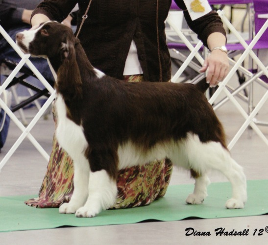 Photo of English Springer Spaniel  Ch Suncoast Double Dare 'McLane'