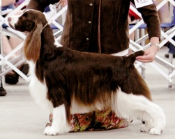 Photo of English Springer Spaniel  Suncoast Double Dare 'McLane'