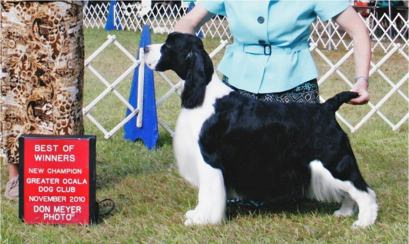 English Springer Spaniel:  Suncoast Go Your Own Way 'Mick'