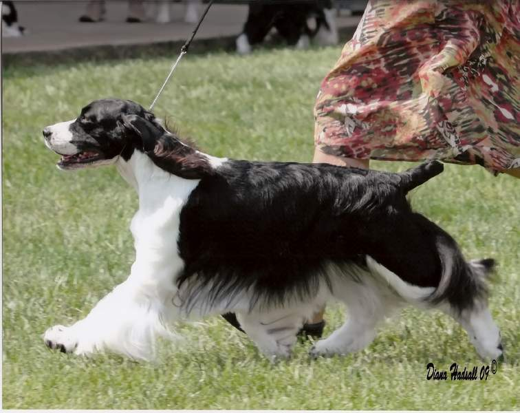 English Springer Spaniel image: Ch Suncoast On The QT 'Sara'