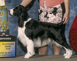 English Springer Spaniel: CH Brightwater Gilchrist Good Times on the Suncoast