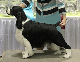 English Springer Spaniel: BISS CH Brightwater Gilchrist Good Times on the Suncoast