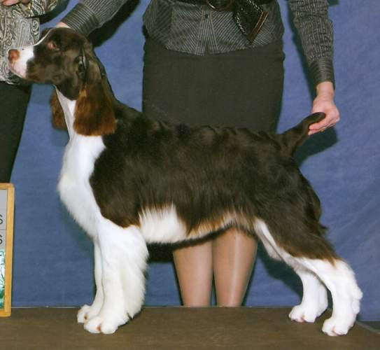Photo of English Springer Spaniel Ch Suncoast Tropical Heatwave 'Zig'