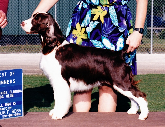 English Springer Spaniel image: Ch Tru-Sport's Hold That Tiger
