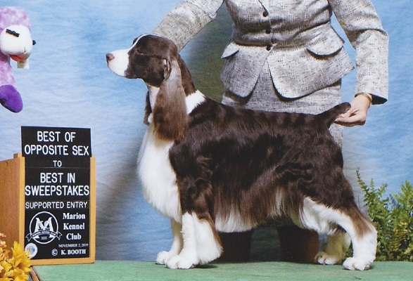 English springer Spaniel image: Ch Suncoast Talking Out Of Turn 'Ty'