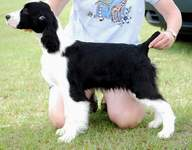 Photo of English Springer Spaniel Suncoast Last Call 'Tyson'