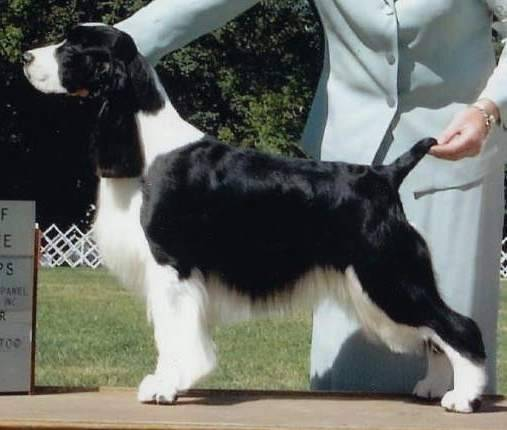 English Springer Spaniel Ch Tiffany's Suncoast Sharpshooter 'Wyatt'