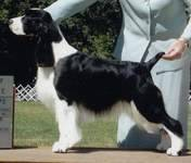 English Springer Spaniel image: Ch Tiffany's Suncoast Sharpshooter 'Wyatt'