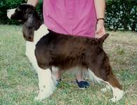 English Springer Spaniel image: Ch Gilchrist Brightwater Tango 'Zoie'